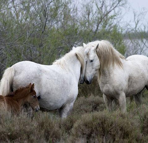 9338f5cb631 ... Randonn  et  levage cheval Camargue